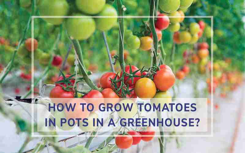 How to Grow Tomatoes in Pots in a Greenhouse
