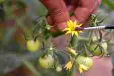 Pollinate the Tomato Flowers