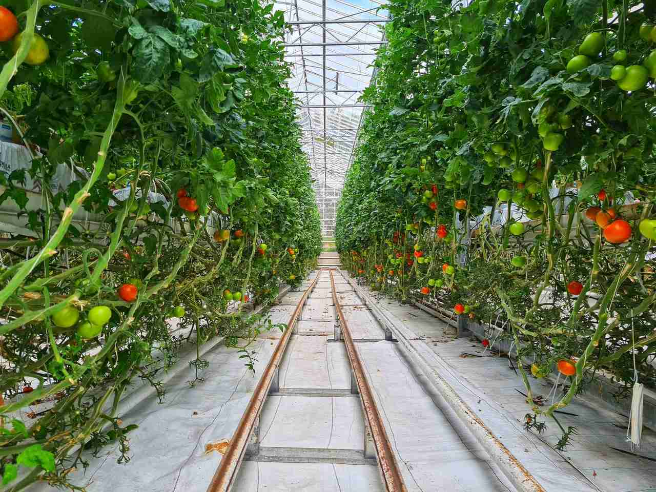 fresh cherry tomatoes plants in greenhouse