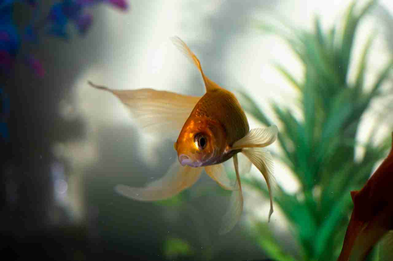close up of goldfish in water