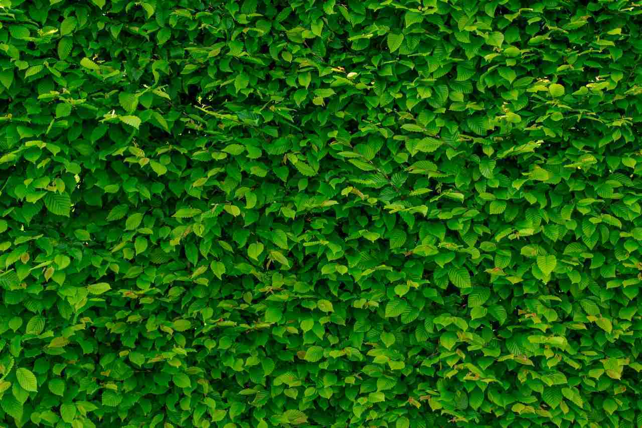 focus of green leaves on house wall