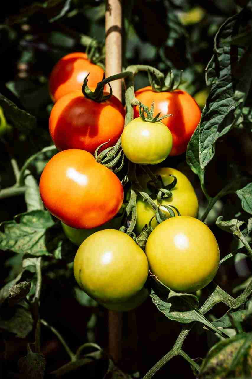green and red tomatoes on leaves during day time
