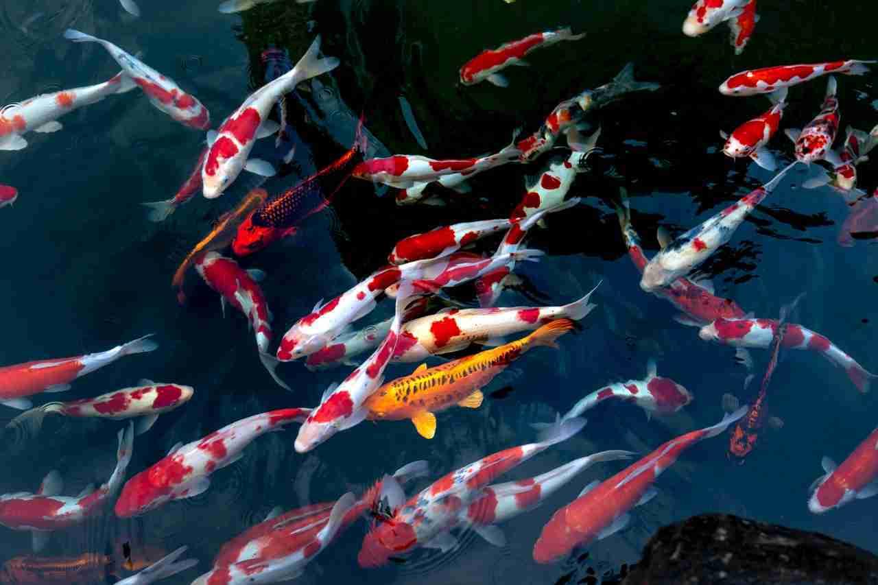 school of koi fish is large water tank