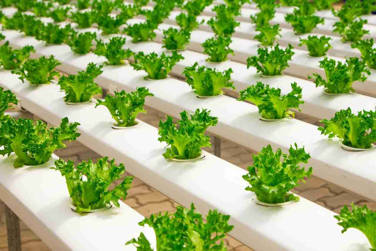 view of lettuce vegetables plants in a row